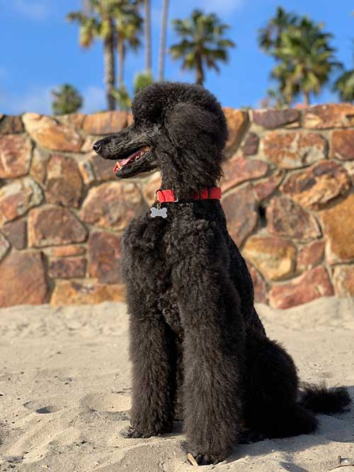 5 Most Common Poodle Health Issues Lucy Pet