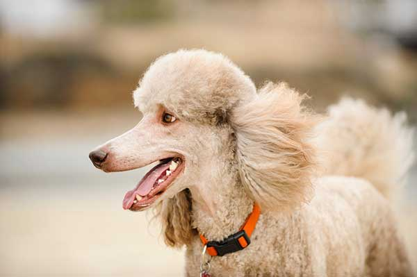 5 Most Common Poodle Health Issues