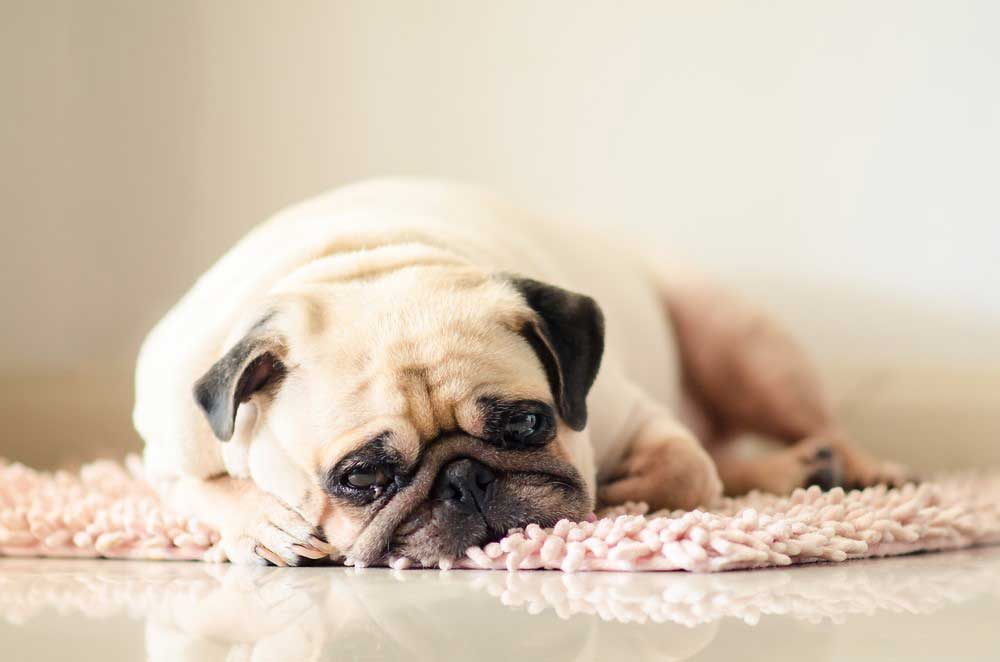 Signs and Symptoms of Constipation in Dogs