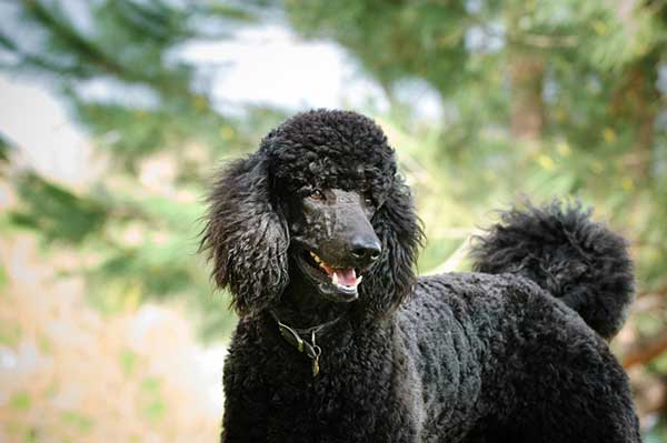 10 Interesting Facts About Poodles