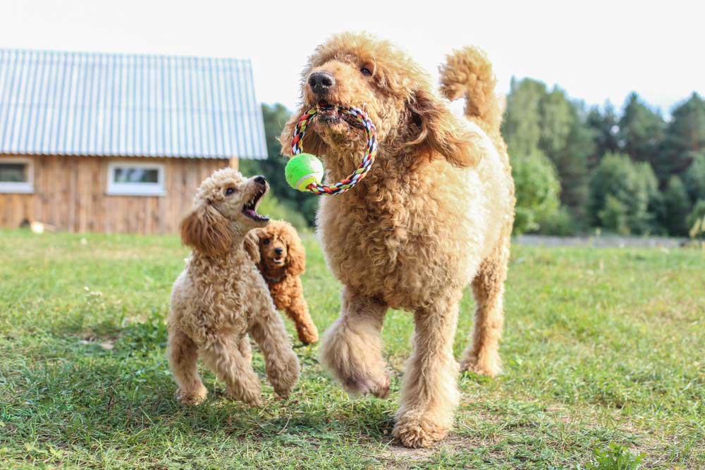 10 fatos interessantes sobre poodles 11