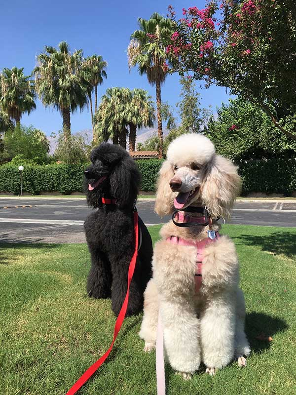 10 Interesting Facts About Poodles Lucy Pet