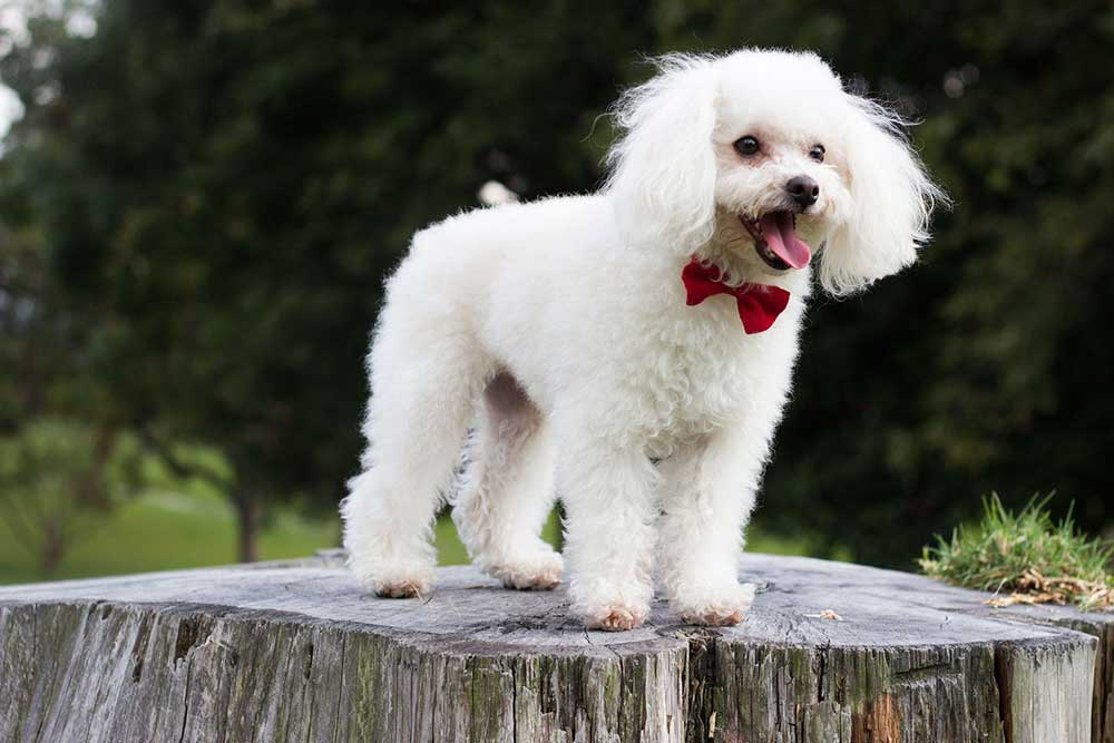 10 fatos interessantes sobre poodles 13