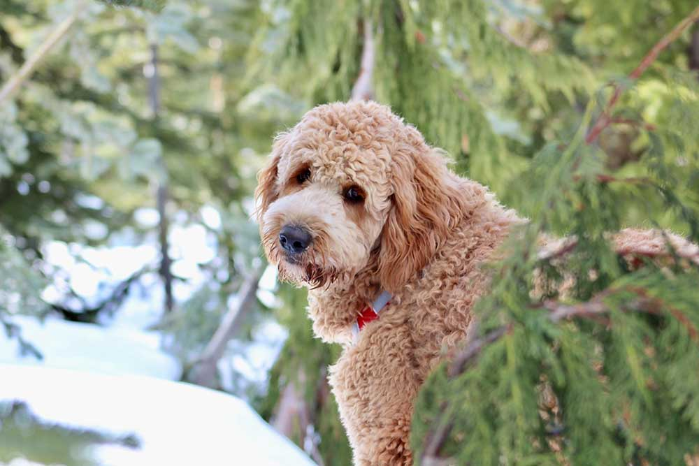 standard-poodle-facts