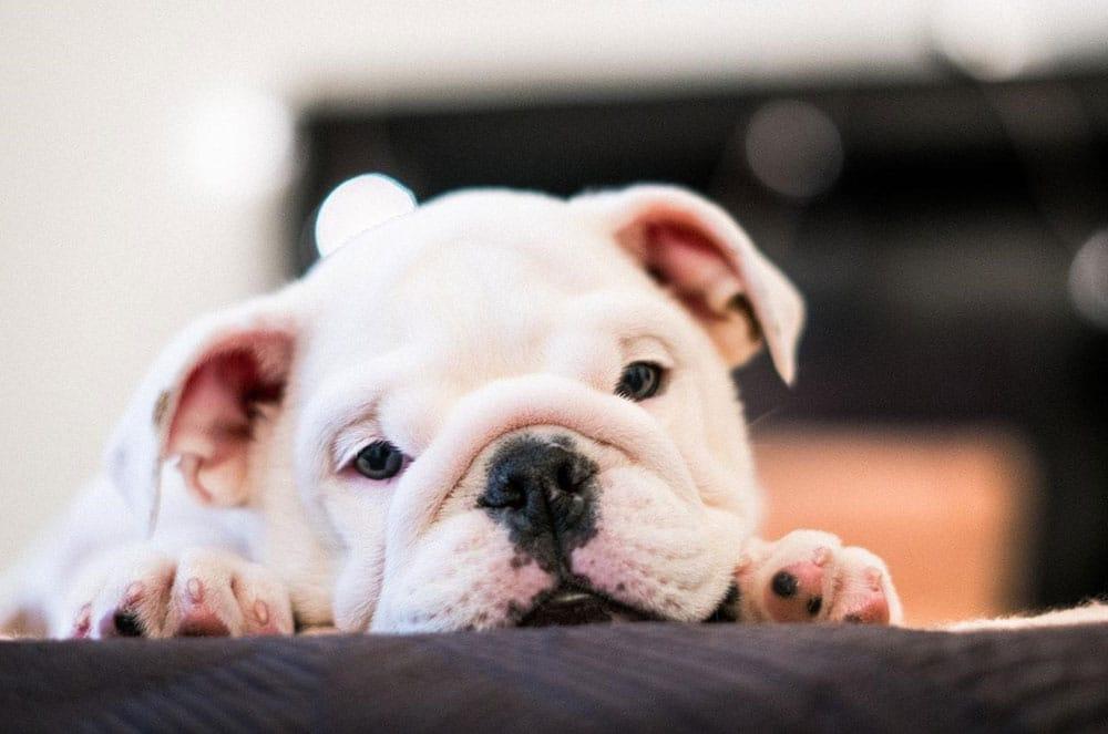 10 Common English Bulldog Health Issues