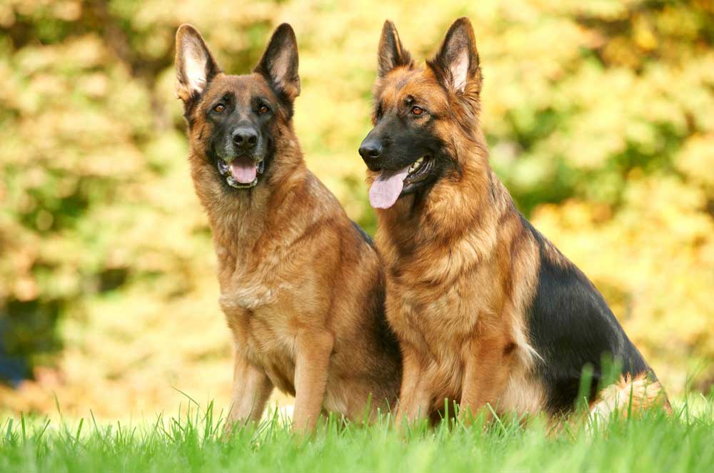 10 Interesting Facts About German Shepherds