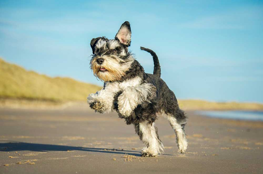 10 Interesting Facts About Schnauzers