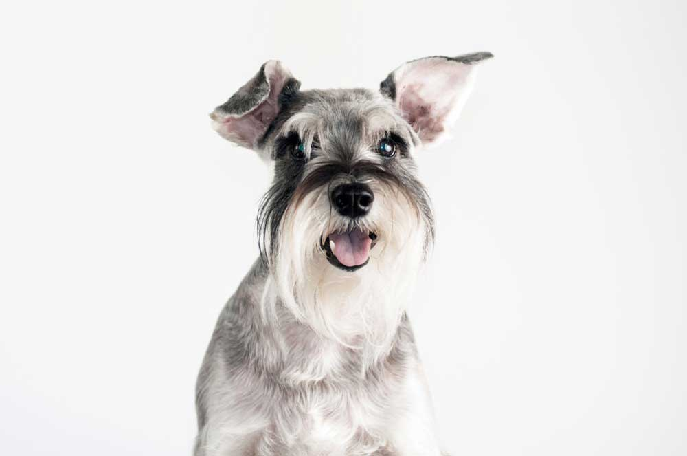 6-Common-Schnauzer-Health-Problems.