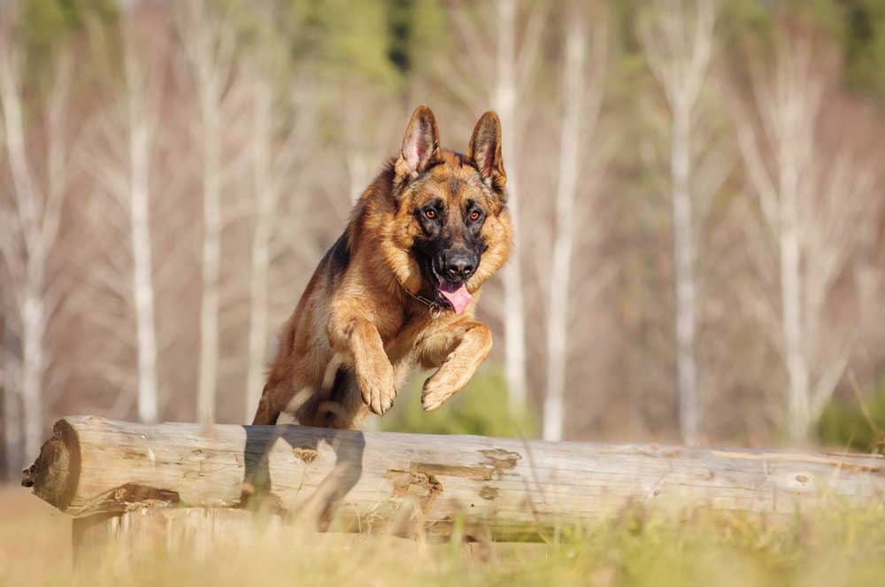A Helpful Guide to the Best Food for German Shepherd Dogs