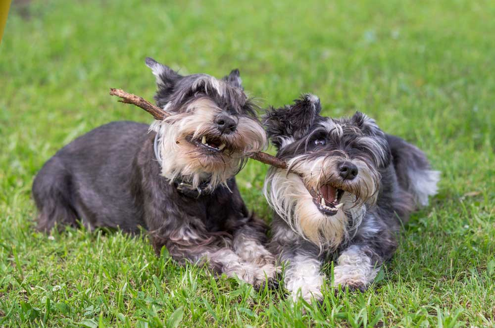 A Helpful Guide to the Best Food for Schnauzers