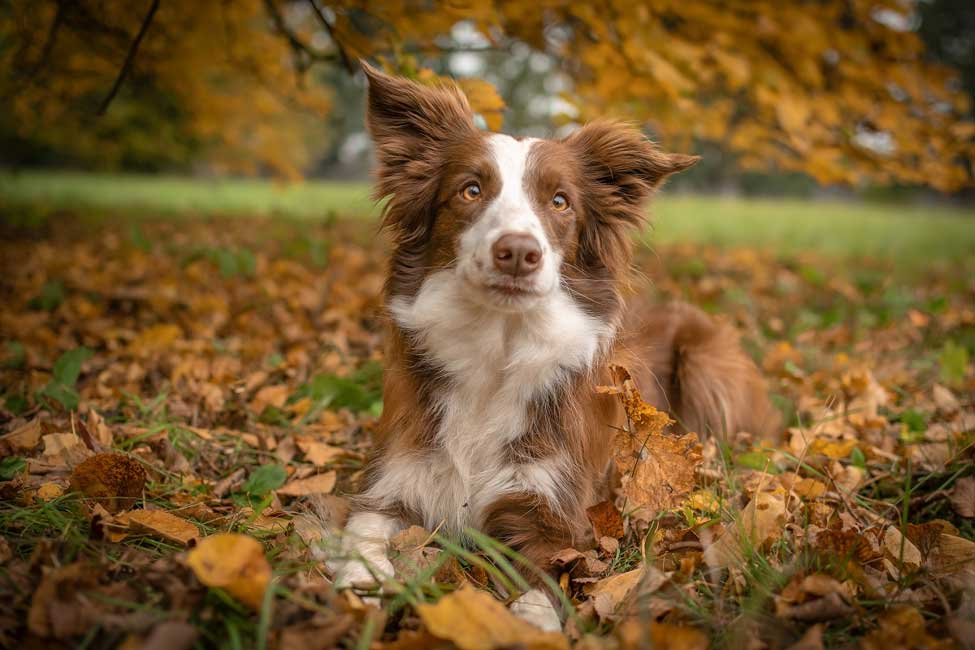 Common Collie Health Problems