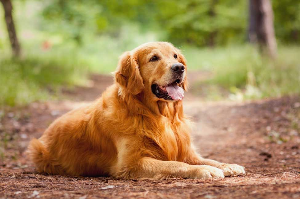 Common Golden Retriever Health Issues
