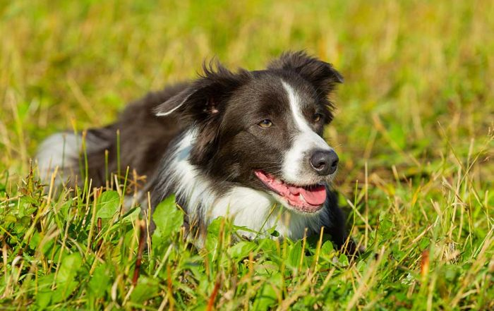 10 Fun Facts About Border Collies