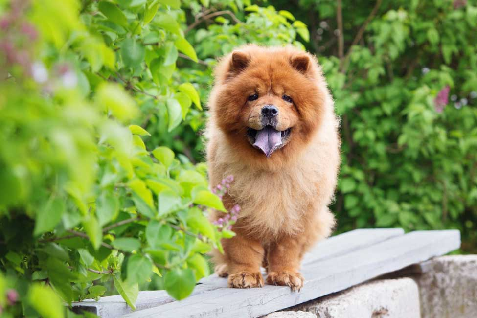 10 Fun Facts About Chow Chows