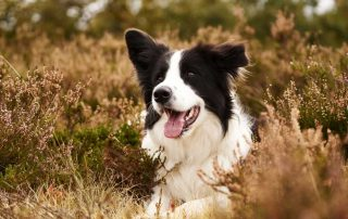 A Helpful Guide to the Best Food for Border Collies
